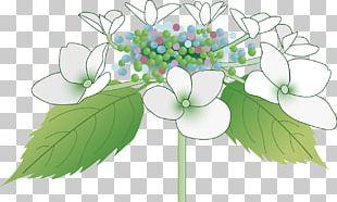 French Hydrangea あじさいの里 East Asian Rainy Season Sepal PNG