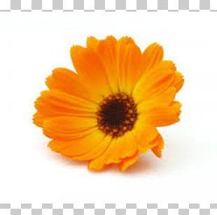 Marigolds English Marigold Medicinal Plants Mexican Marigold Flower PNG