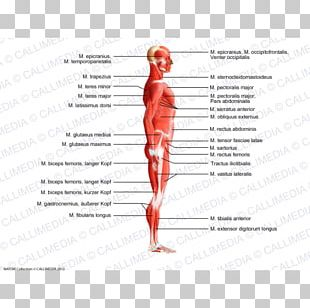 Trapezius Human Body Muscle Anatomy Muscular System PNG