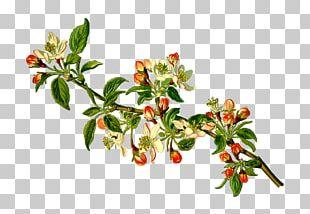 Köhler's Medicinal Plants Malus Sylvestris Apple Fruit Tree PNG