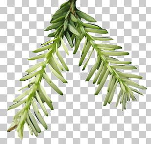 Spruce Pine Family Plant Stem Twig PNG