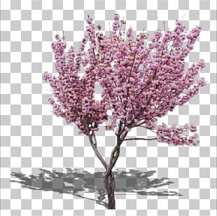 The Pink Peach Tree Cherry Blossom PNG