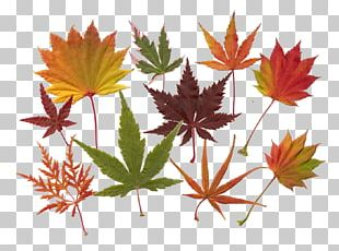 Maple Leaf Acer Japonicum Japanese Maple Red Maple PNG