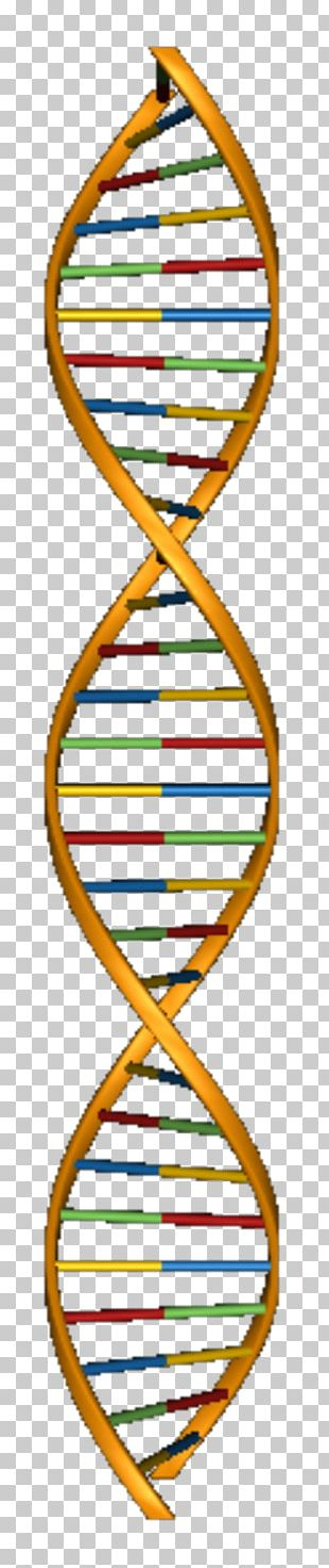 Molecular Models Of DNA Nucleic Acid Structure Nucleic Acid Double Helix PNG