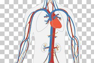 Circulatory System Heart Blood Vessel Human Body Organ System PNG