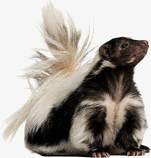Skunk Animal World PNG