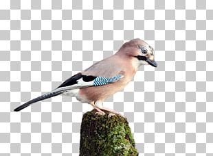Blue Jay Finch Fauna Beak Feather PNG