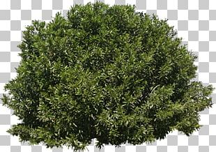 Tree Shrub Evergreen PNG