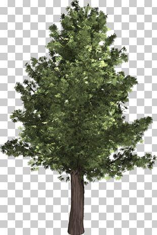 Populus Alba Populus Nigra Tree PNG
