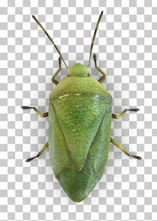 Insect True Bugs Brown Marmorated Stink Bug Bed Bug Stink Bugs PNG