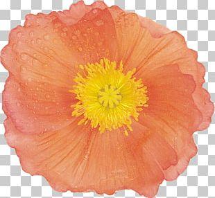 Flower Poppy Painting Google S PNG