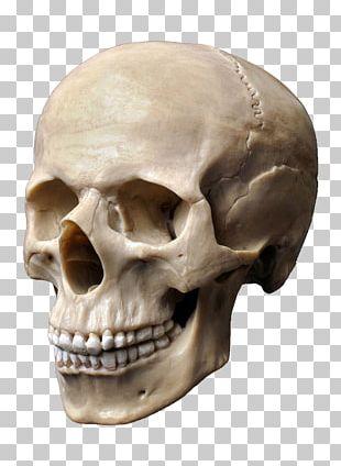 Human Skull Stock Photography Human Skeleton Human Head PNG