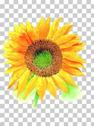 Common Sunflower U4e2du56fdu6c34u5f69u753b Watercolor Painting PNG