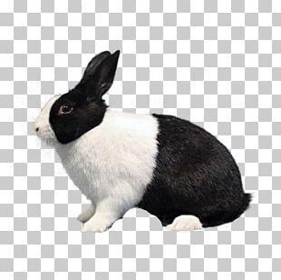 Domestic Rabbit Dutch Rabbit Polish Rabbit Havana Rabbit Hare PNG