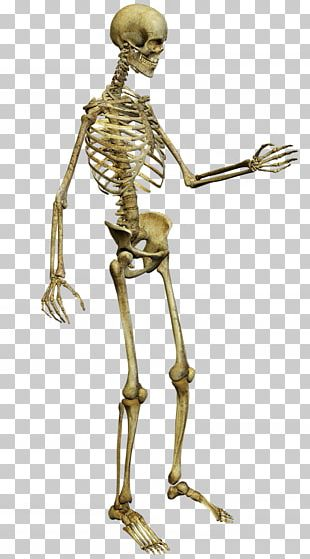 Human Skeleton Anatomy PNG