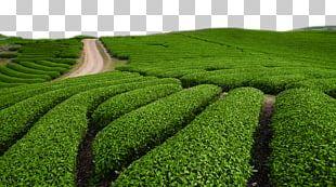 Green Tea Tieguanyin White Tea Chinese Tea PNG