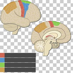 Lobes Of The Brain Cerebral Cortex Parietal Lobe Motor Cortex Posterior Parietal Cortex PNG