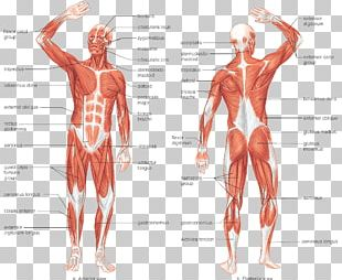 Muscular System Human Body Muscle Human Skeleton Anatomy PNG