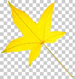 American Sweetgum Autumn Leaf Color Yellow PNG