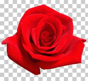 Desktop Rose Red Stock Photography PNG
