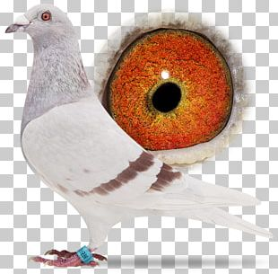 Racing Homer Columbidae Homing Pigeon Bird Beak PNG