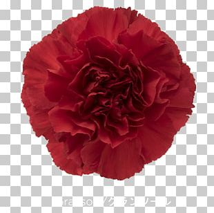Carnation Cut Flowers Rose Red PNG