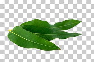 Eucalyptus Polybractea Eucalyptus Oil Clay Stock Photography PNG