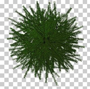 Pine Family Pine Family PNG