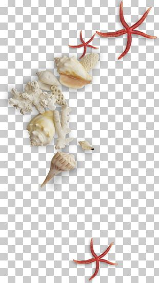 Seashell Conch Mollusc Shell PNG