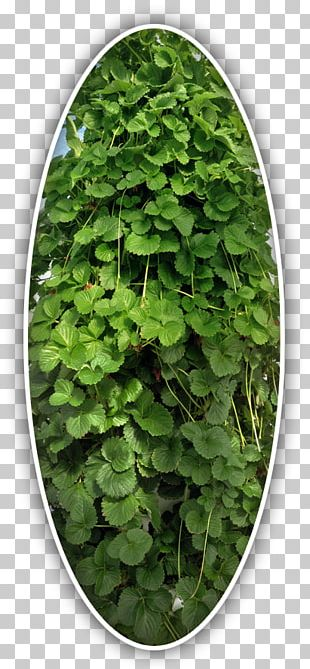Leaf Herb Groundcover PNG