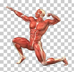 Muscular System Skeletal Muscle Human Body Human Skeleton PNG