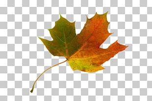 Sugar Maple Maple Leaf Japanese Maple Autumn Leaf Color PNG