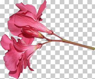 Rose Family Cut Flowers Pink M Plant Stem PNG