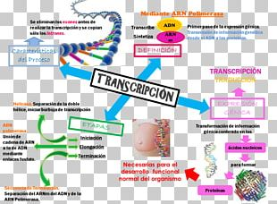 Transcription Translation Protein Biosynthesis Genetics DNA PNG