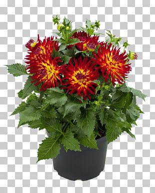 Chrysanthemum Dahlia Pinnata Tuber Flower Plant PNG