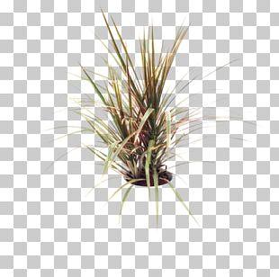 Dracaena Reflexa Var. Angustifolia Plant Stem Hidrokültür Agave Filifera Decofora Bvba PNG