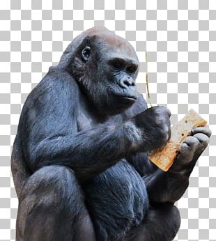 Chimpanzee Gorilla Ape Monkey Primate PNG