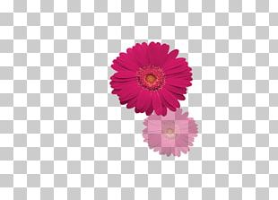Transvaal Daisy Poster Letter PNG