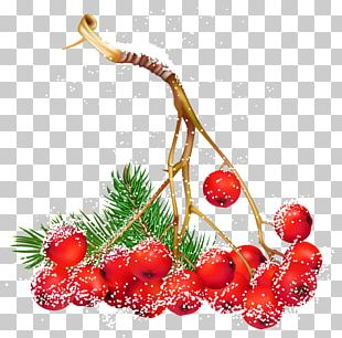 Common Holly Christmas Berry PNG