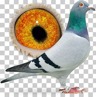 Homing Pigeon Columbidae Pigeon Racing Bird Breed PNG