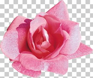 Light Rose Desktop Flower Pink PNG