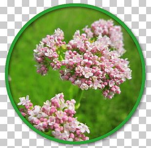 Valerian Extract Herb Medicinal Plants PNG