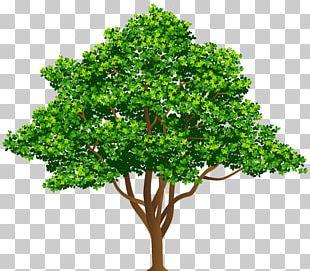Tree Drawing Illustration PNG