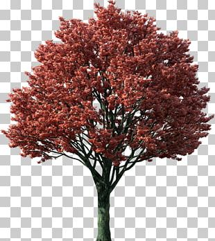 Tree Japanese Maple Red Maple Maple Leaf Autumn Leaf Color PNG