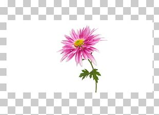 Chrysanthemum Flower Transvaal Daisy Daisy Family Stock Photography PNG