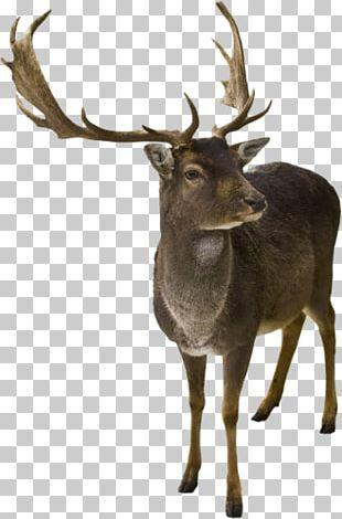 Reindeer Horn Elk White-tailed Deer PNG