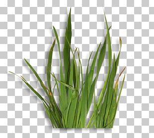 Sweet Grass Welsh Cuisine Allium Fistulosum Wheatgrass Commodity PNG