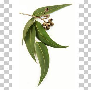 Eucalyptus Oil Eucalyptus Radiata Leaf Stock Photography Essential Oil PNG