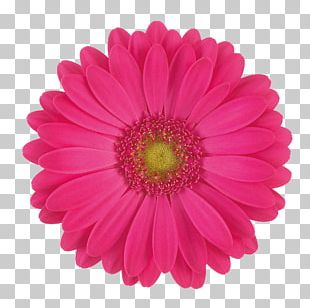 Transvaal Daisy Cut Flowers Stock Photography Common Daisy PNG