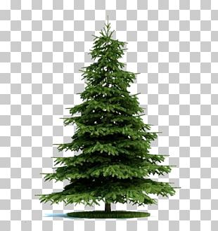 Blue Spruce Tree Norway Spruce Plant Pine PNG